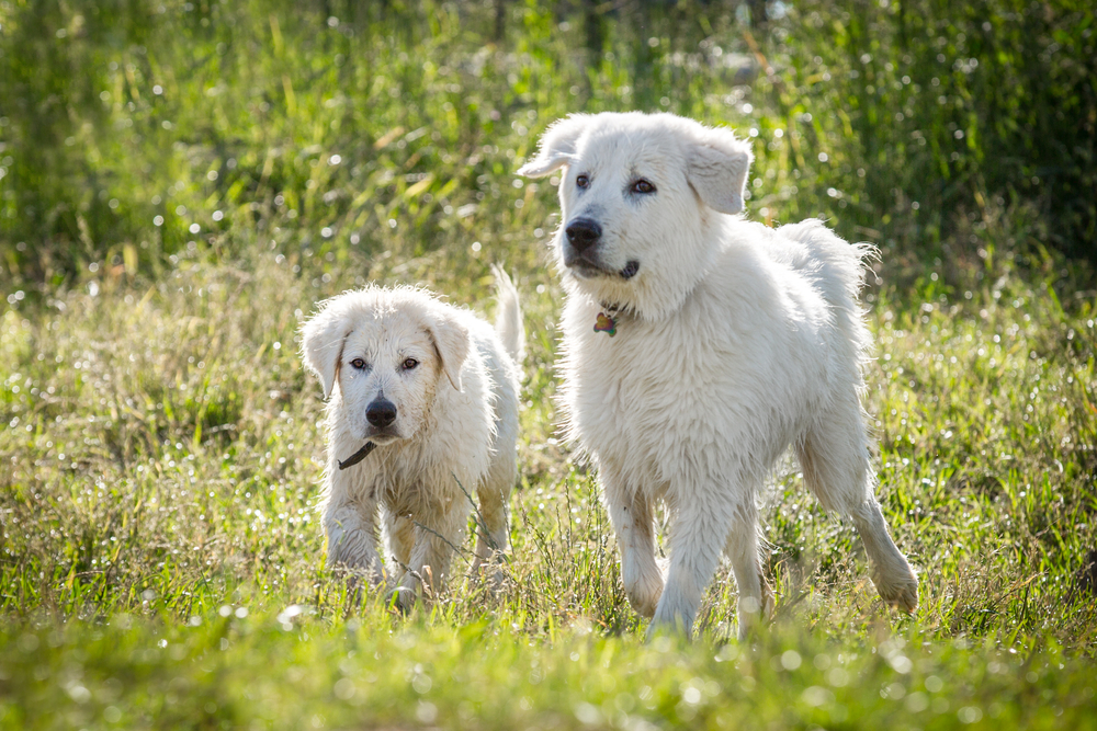 Best Farm Dogs- Which is Best for Protection, Herding and Pest Control?