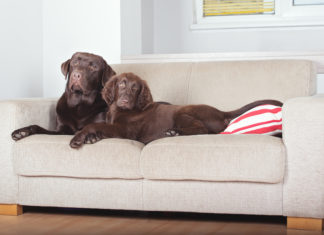 dogs on a couch