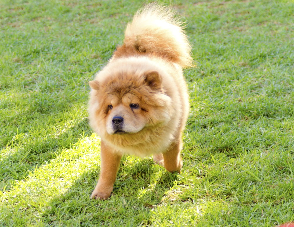 A young beautiful fawn, cream brown, Chow Chow puppy dog walking on the lawn. The Chowdren has a distinctive dense coat, ruff behind the head and around the neck and curly tail and looks like a lion.