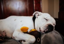 adorable american bulldog sleeping with toy