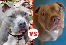 blue nose pitbull vs red nose pitbull