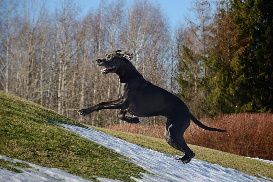 How to Make Sure Your Great Dane is Healthy for Training