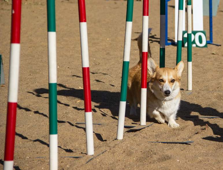 Corgis are also known to be super fast runners