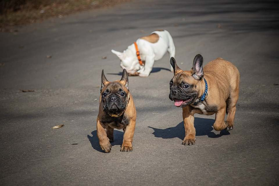 Distinguishing Features of a French Bulldog